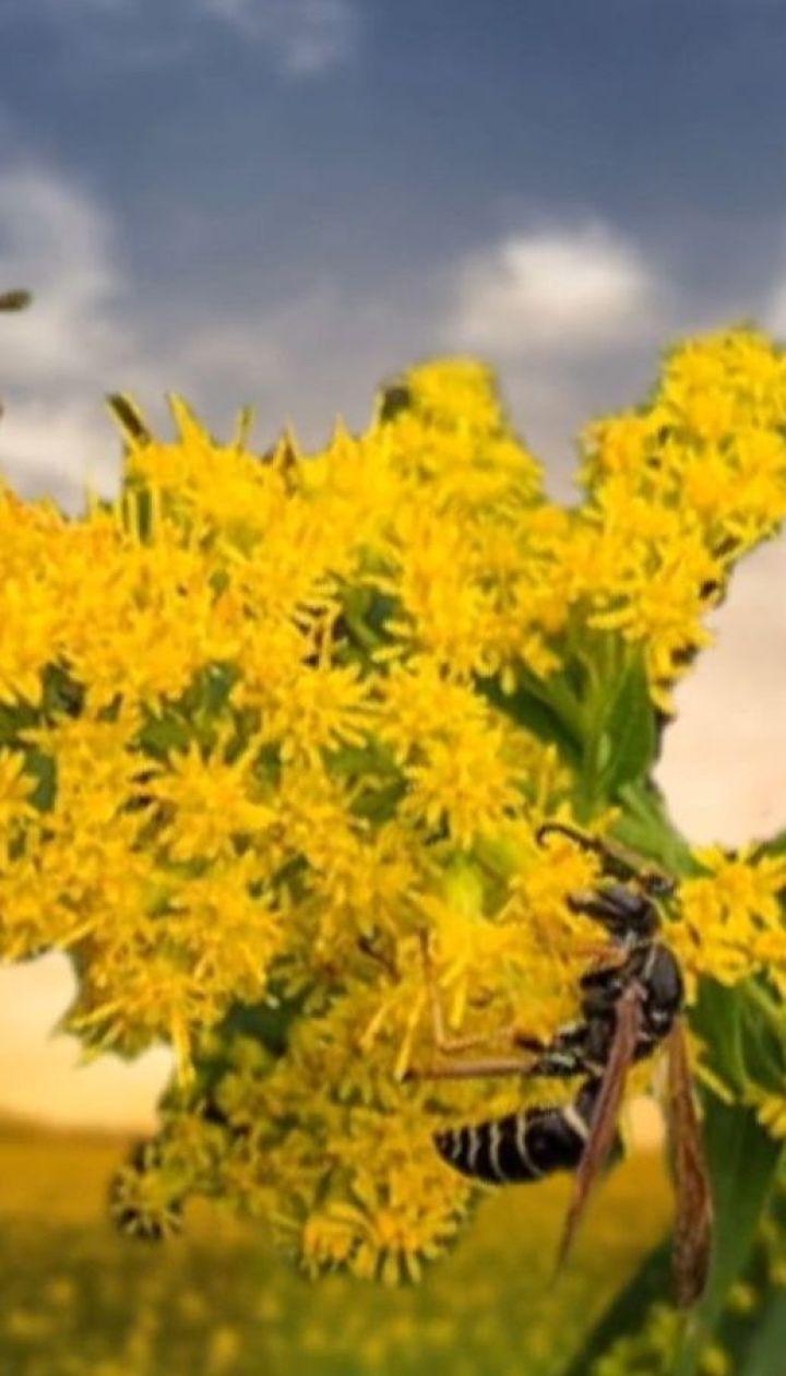 Истощение аллергией: в Украине сейчас пик цветения амброзии