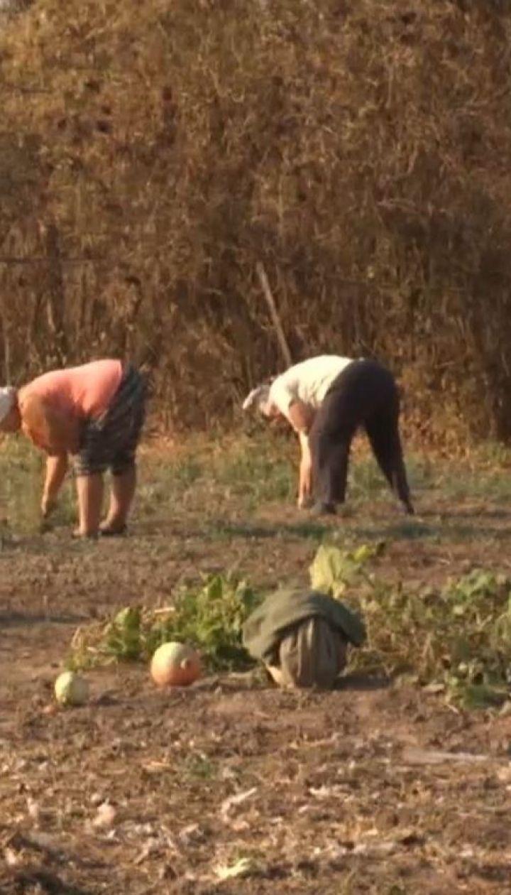 Культ картоплі: що вигідніше - вирощувати самому чи купити у супермаркеті