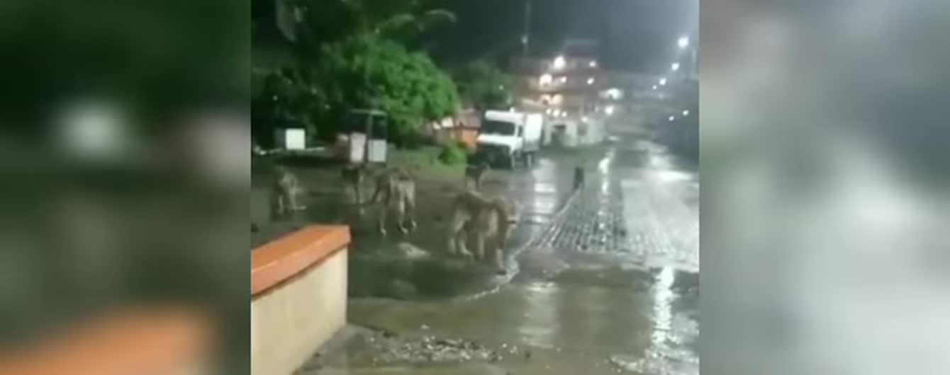 В Индии сняли львов, которые свободно прогуливаются по городу