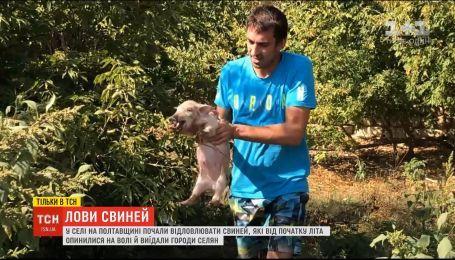В селе на Полтавщине начали отлов свиней, которые с начала лета оказались на свободе
