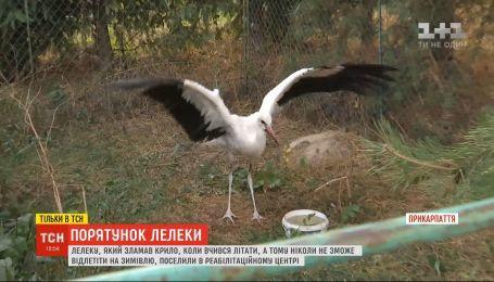 Селяни на Житомирщині врятували молодого лелеку, який зламав крило