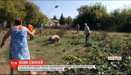 В селе на Полтавщине наняли профессионального ловца животных, чтобы поймать свиней-вредителей