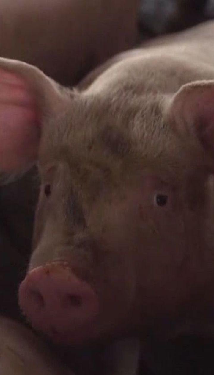 Масове знищення свиней через африканську чуму відбувається в Південній Кореї