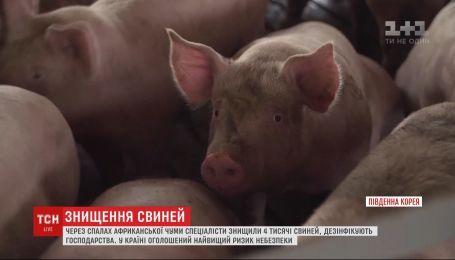 Массовое уничтожение свиней из-за африканской чумы происходит в Южной Корее