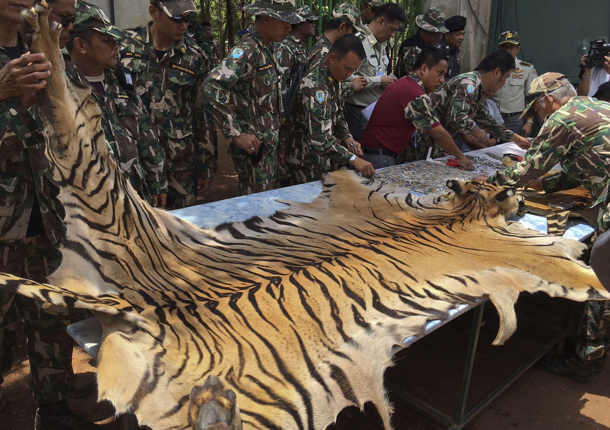 Скандальний храм тигрів у Таїланді_1