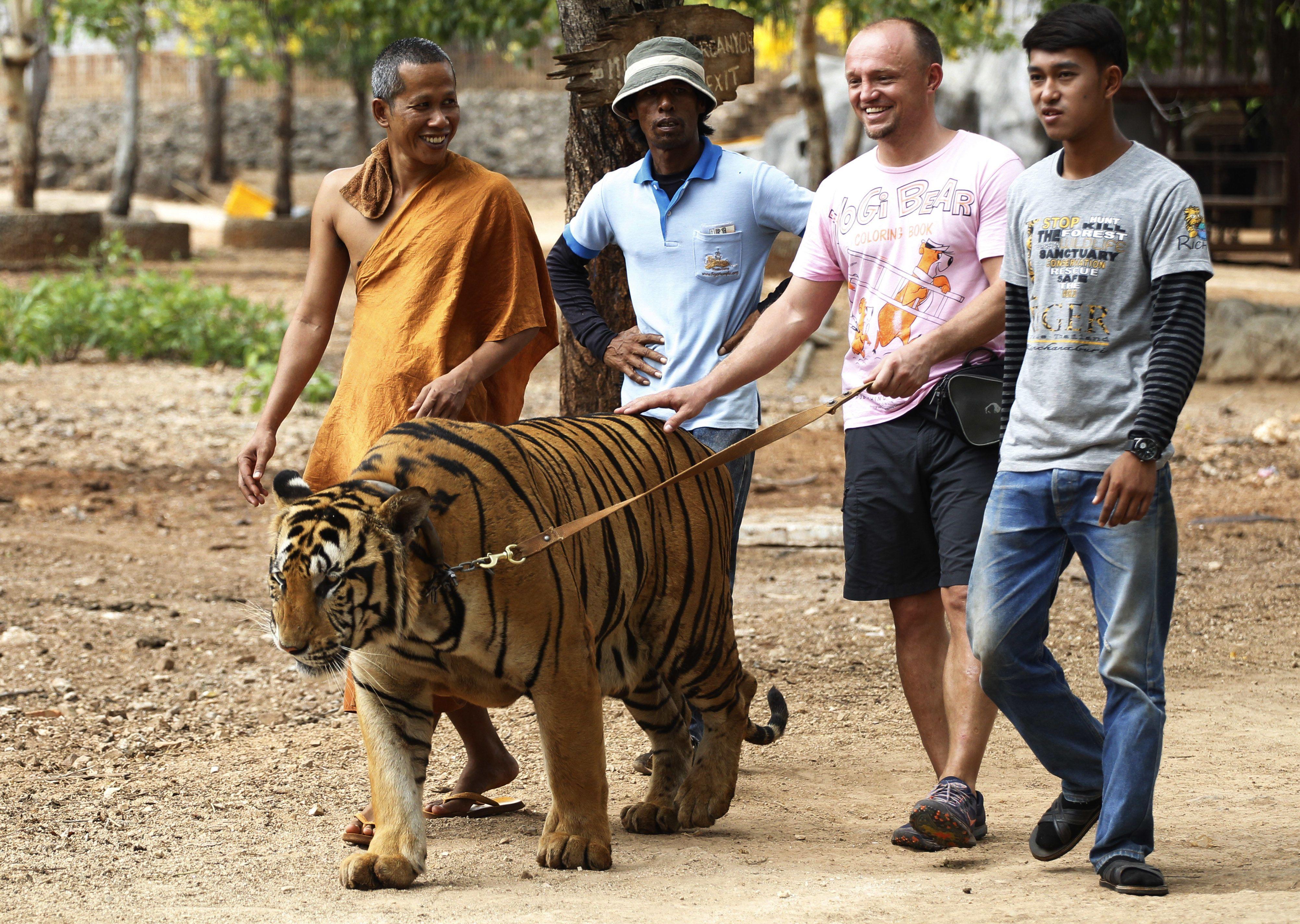 Скандальний храм тигрів у Таїланді_3