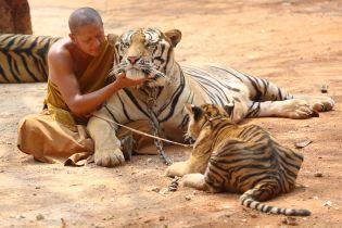 Три года назад из скандального таиландского храма освободили 150 тигров – теперь больше половины из них мертвы