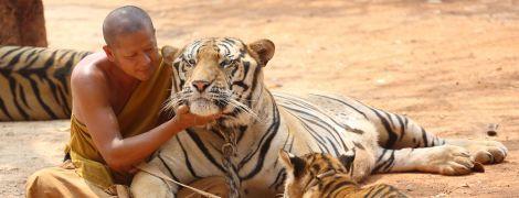 Три роки тому зі скандального таїландського храму визволили 150 тигрів – тепер більше половини з них мертві