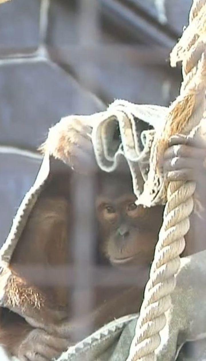 Ковдри для орангутангів і сіно для бабаків: як у зоопарку під Києвом готуються до осені