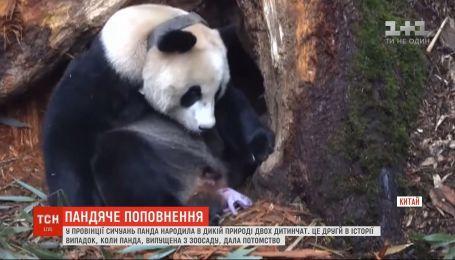 В провинции Сычуань панда родила в дикой природе двух детенышей