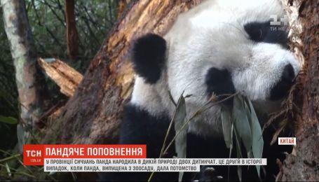 Двух детенышей родила панда в провинции Сычуань