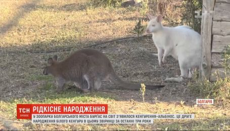 В зверинце Болгарии на свет появился кенгуренок-альбинос