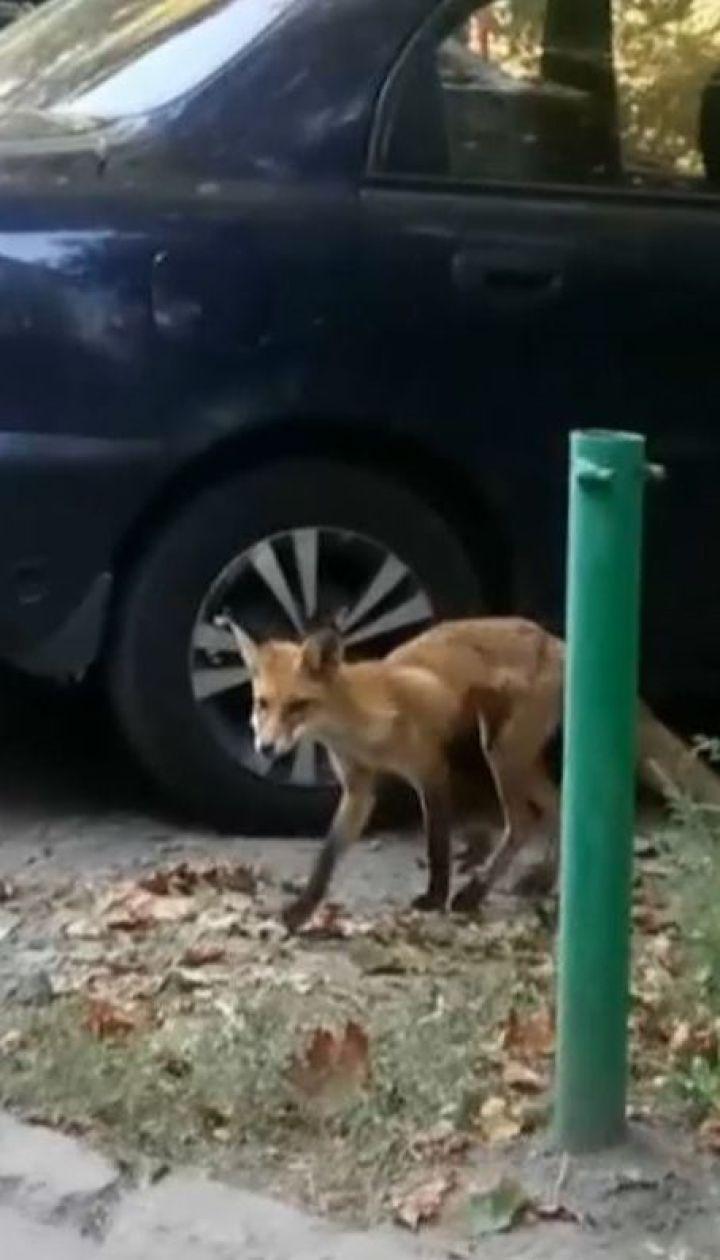 Обережно, сказ: у Миргороді лисиця покусала трьох людей