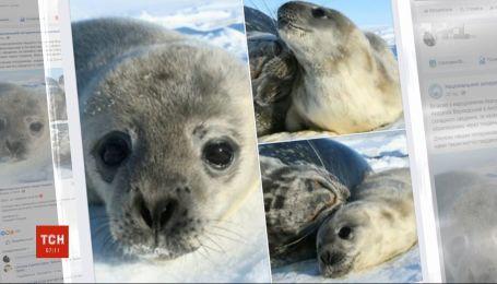Наши полярники в Антарктиде предлагают украинцам выбрать имя для детеныша тюленя