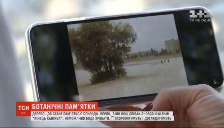 Дерево Виктора Цоя в Киеве внесут в перечень ботанических достопримечательностей