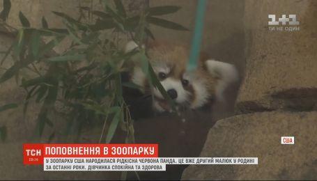 Редкая красная панда родилась в зоопарке США