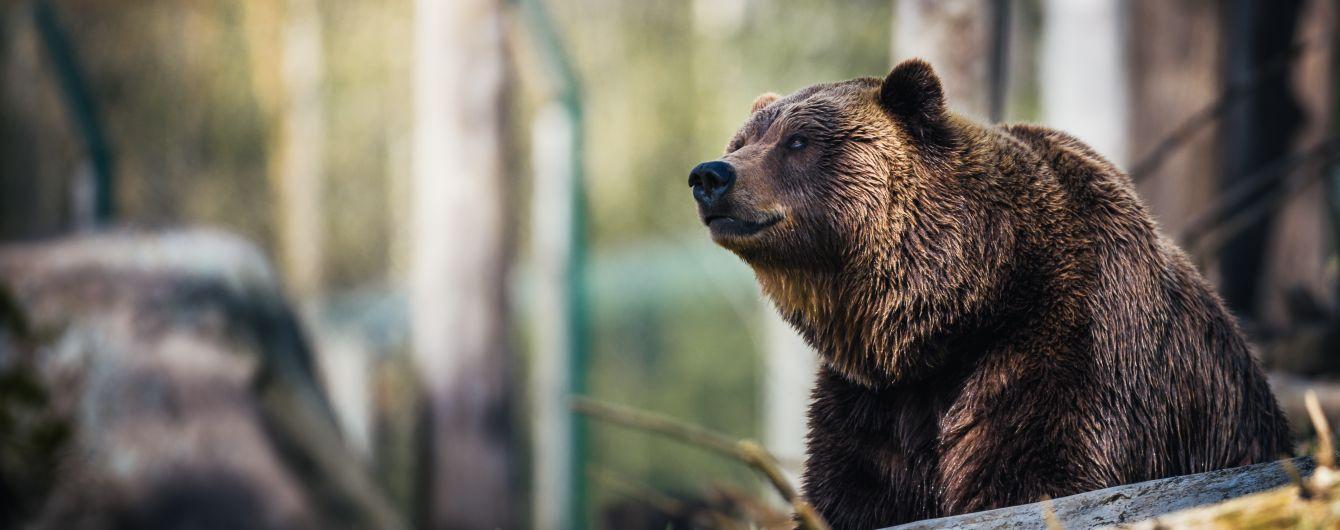 В Болгарии в отель пришел медведь, чтобы искупаться в бассейне