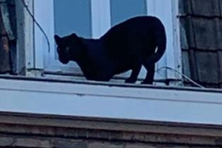 Во Франции украли пантеру, которая недавно гуляла по крышам города