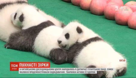 7 детенышей гигантских панд продемонстрировали публике в исследовательском центре