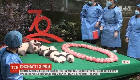 В китайском исследовательском центре перед публикой продемонстрировали 7 панд