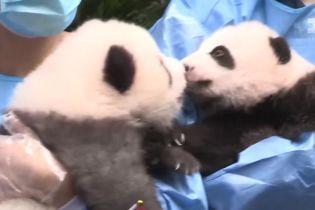 В Китае сразу семерых пандочек впервые показали публике