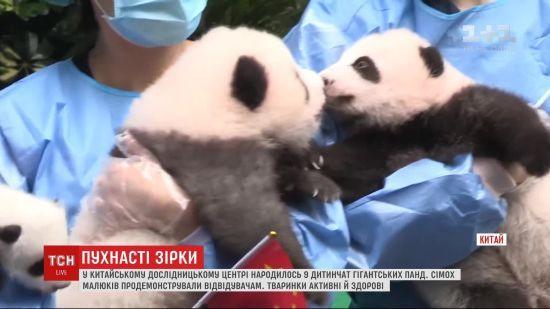 У Китаї одразу сімох панденят вперше показали публіці