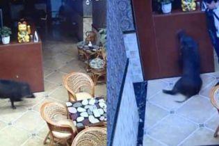 В Китае сняли кабана, который устроил погром в караоке-баре