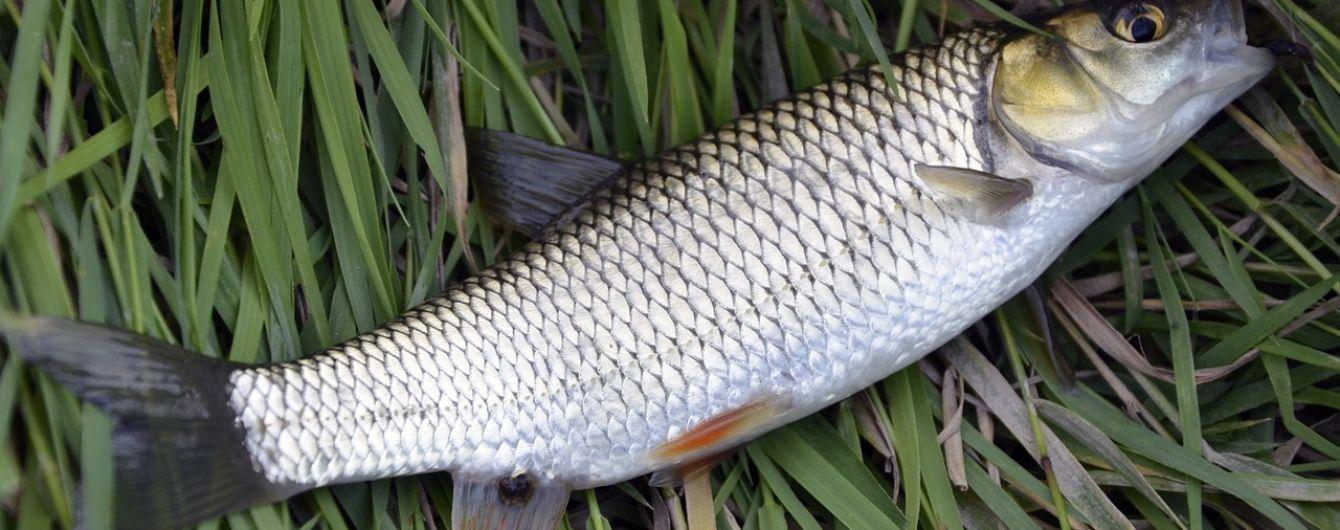 """""""Кефалевий бурштин"""": на Одещині неконтрольований вилов риби збагачує браконьєрів на мільйони"""