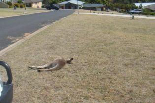 В Австралии автомобилем задавили насмерть 20 кенгуру и их детенышей