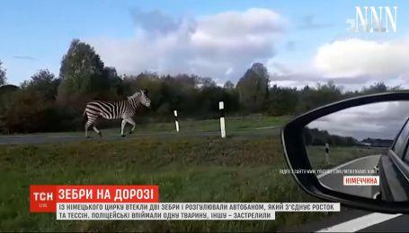 Две зебры вызвали коллапс на автобане в Германии