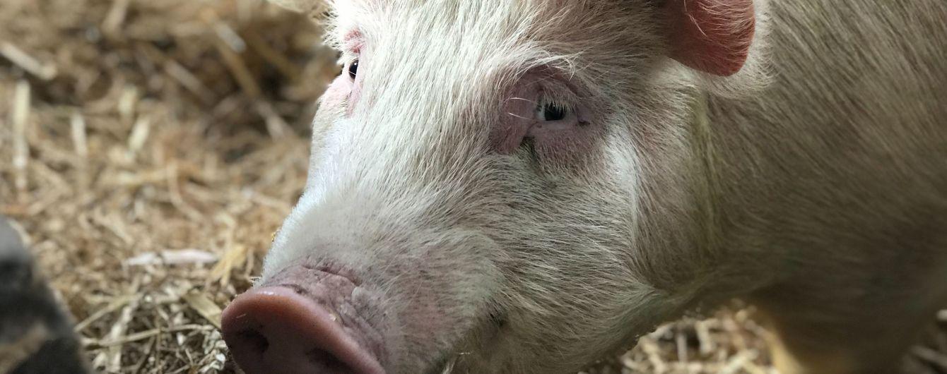Розміром з ведмедя: у Китаї розводять гігантських 500-кілограмових свиней