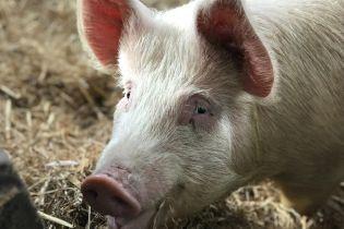Размером с медведя: в Китае разводят гигантских 500-килограммовых свиней