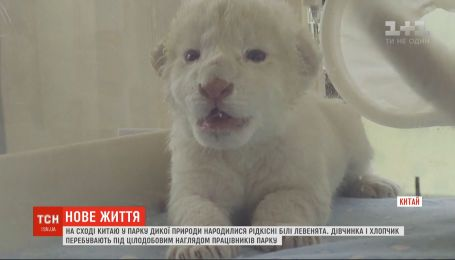 В китайском парке дикой природы показали редких белых львят
