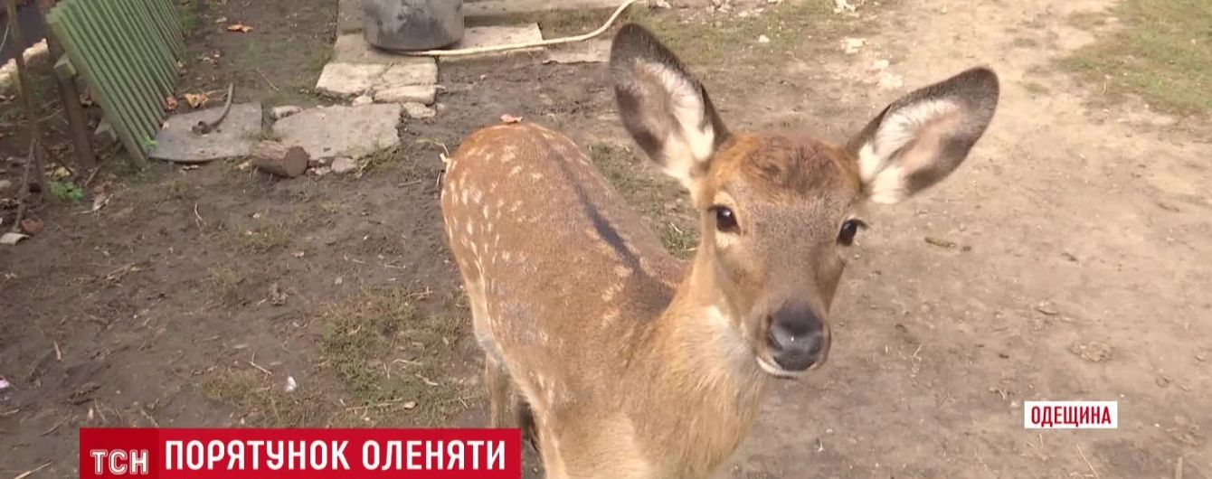 В селе на Одесчине олененок стал домашним животным