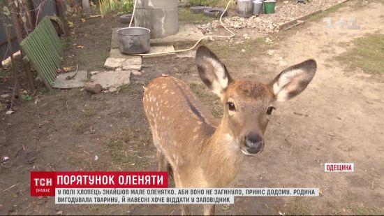 В селі на Одещині оленятко стало свійською твариною