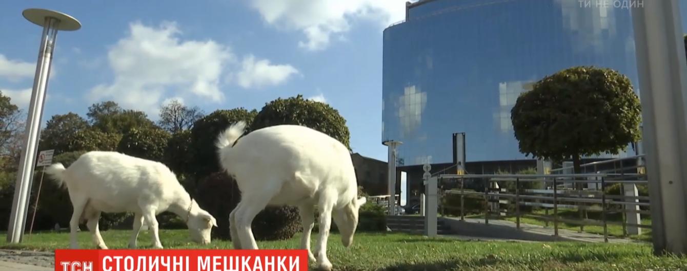 В центре Киева живут козы: как и почему животные оказались в столице