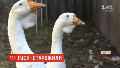 В Винницкой области живет пара гусей-долгожителей