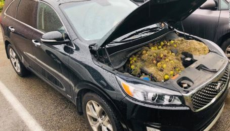 Сотни орехов под капотом. Американца шокировали запасы белок в его авто