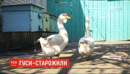Пара гусей-довгожителів живе на Вінниччині