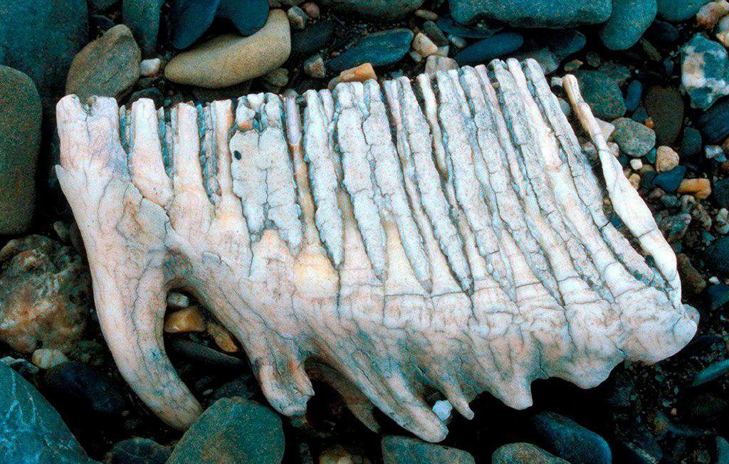 зуб мамонта 3