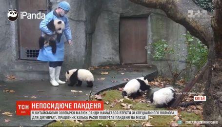 У мережі набуває популярності відео, як малюки панди намагаються втекти з вольєра