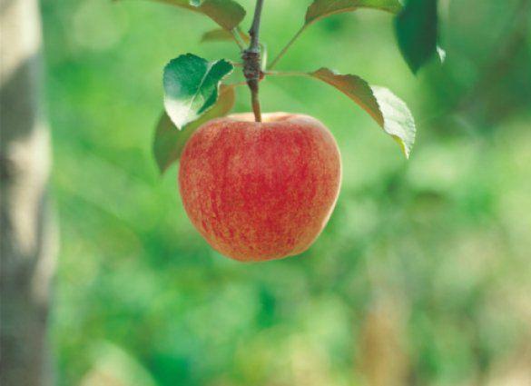 яблоки_7