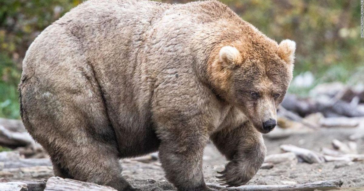 Да здравствует королева полноты. На Аляске выбрали самую толстую медведицу – ее путь к победе в фото
