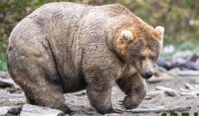 Слава королеві гладкості. На Алясці обрали найтовстішу ведмедицю – її шлях до перемоги у фото