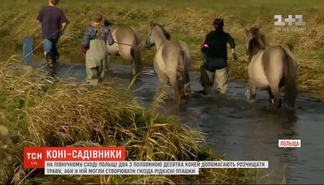 В Польше лошади помогают расчищать траву, чтобы в ней могли создавать гнезда птички