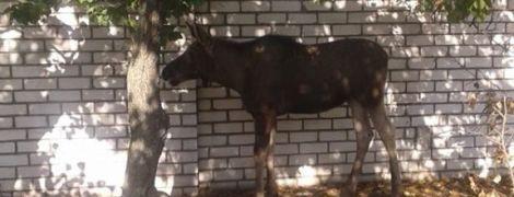 В Рубежном полицейские перекрыли дорогу, чтобы поймать краснокнижного лося