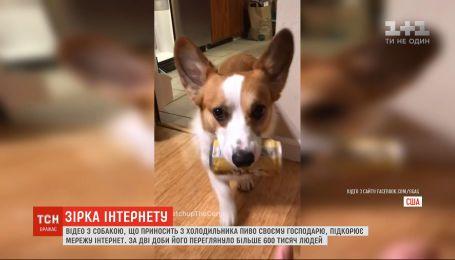 Видео с собакой, которая приносит из холодильника пиво своему хозяину, покоряет Сеть