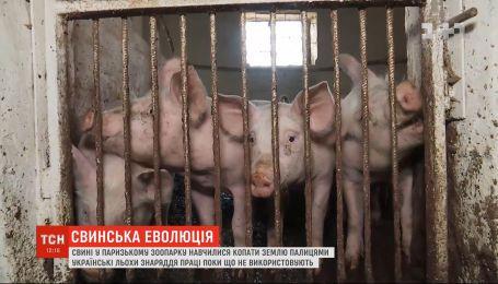 Вчені вперше зафіксували, що свині почали використовувати знаряддя праці