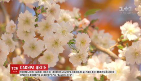 В Киеве на бульваре Верховной Рады расцвела японская вишня