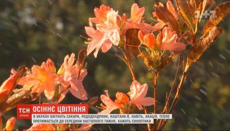 Жовтнева аномалія: в Україні квітнуть сакури, рододендрони, каштани та акація